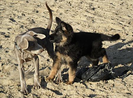 puppy socialisatie breda